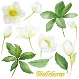 Handpainted watercolor flowers set in vintage style. It`s perfect for greeting cards, wedding invitation, birthday and. Helleborus nigrum. Christmas rose stock illustration