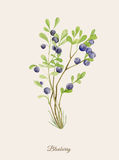 Handpainted watercolor poster with blueberry. In vintage retro style stock illustration