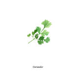 Handpainted watercolor poster with coriander vector illustration