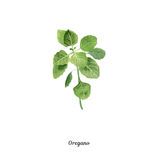 Handpainted watercolor poster with oregano