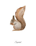 Handpainted watercolor poster with squirrel Stock Photo
