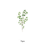 Handpainted watercolor poster with thyme Royalty Free Stock Image