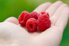 Handpicked raspberries Royalty Free Stock Image