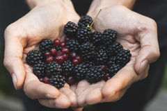 Handpicking blackberries and redcurrants Stock Images