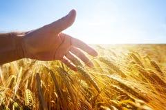 Handrührende Weizenähren auf einem goldenen Gebiet stockbild