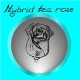 Handrawn color de rosa del híbrido en fondo gris Fotos de archivo