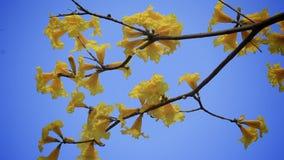 Handroanthus albus,黄色Ipe花 影视素材