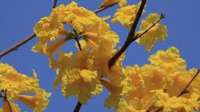 Handroanthus albus,黄色Ipe 股票视频