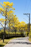 Handroanthus albus. The Golden Trumpet Tree, is a tree with yellow flowers native to the Cerrado tropical savannas of Brazil, where it is known as ipe-amarelo Stock Photography