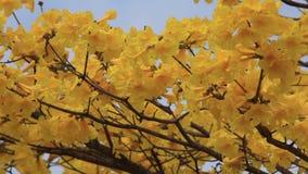 Handroanthus albus, Yellow Ipe blossom stock video