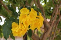 Handroanthus-chrysotrichus in Israel Eilat-Stadt Stockbilder