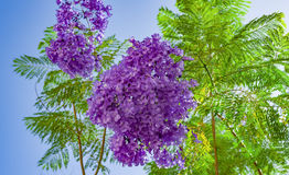 Handroanthus-impetiginosa lila blaue Farbe-Tabebuia-avellanedae oder Handroanthus-impetiginosus Lizenzfreies Stockfoto