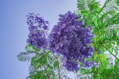 Handroanthus-impetiginosa lila blaue Farbe-Tabebuia-avellanedae oder Handroanthus-impetiginosus Stockfotografie
