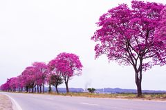 Handroanthus impetiginosus eller rosa färglapacho i linje på sidan av vägen i den nordvästliga argentinaren arkivbild