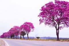 Handroanthus-impetiginosus oder rosa lapacho in der Linie an der Seite der Straße im Argentinien Nordwest stockfotografie