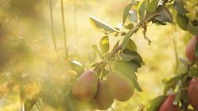 Handrupft saftige Birne auf einem Baum im Sonnenschein stock video footage