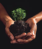 Hands. Cupped hands holding herb plant Stock Photo
