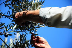 Hands. Picking olives from tree Royalty Free Stock Photography