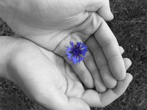 Hands. Cornflower in hands Stock Image