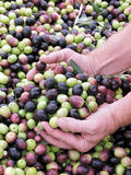 Hands. These hands are checking the olive harvest Stock Image