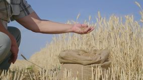 Hands of adult farmer touching and sifting wheat grains in a sack. Wheat grain in a hand after good harvest. Agriculture stock footage