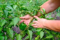 Hands of adult woman is holding a green pepper paprika on the garden background. The concept of growing vegetables Stock Photography