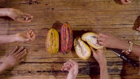 Hands of amazonian indigenous people receiving exotic cocoa fruit seeds. Detail shot in Ecuador stock footage