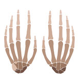 Hands anatomy. Vector illustration of human hand bones anatomy Stock Photo