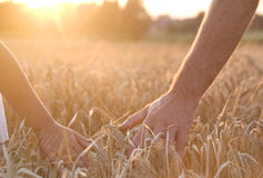 Hands on  barley Stock Photography