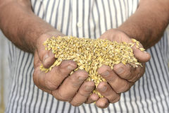 Hands barley Stock Image