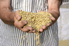 Hands barley Stock Photos