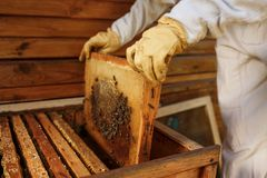 Hands of beekeeper pulls out from the hive a wooden frame with honeycomb. Collect honey. Beekeeping concept.  stock image