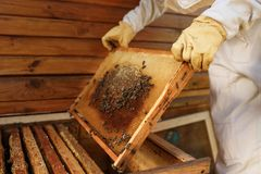 Hands of beekeeper pulls out from the hive a wooden frame with honeycomb. Collect honey. Beekeeping concept.  stock photography