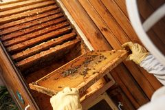 Hands of beekeeper pulls out from the hive a wooden frame with honeycomb. Collect honey. Beekeeping concept.  royalty free stock photography