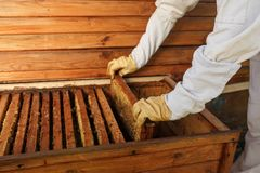 Hands of beekeeper pulls out from the hive a wooden frame with honeycomb. Collect honey. Beekeeping concept royalty free stock image