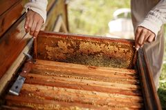 Hands of beekeeper pulls out from the hive a wooden frame with honeycomb. Collect honey. Beekeeping concept royalty free stock photo
