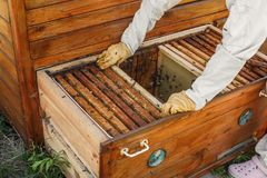 Hands of beekeeper pulls out from the hive a wooden frame with honeycomb. Collect honey. Beekeeping concept.  royalty free stock photos