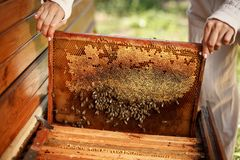 Hands of beekeeper pulls out from the hive a wooden frame with honeycomb. Collect honey. Beekeeping concept.  stock images