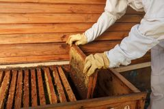 Hands of beekeeper pulls out from the hive a wooden frame with honeycomb. Collect honey. Beekeeping concept.  royalty free stock photo