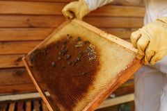 Hands of beekeeper pulls out from the hive a wooden frame with honeycomb. Collect honey. Beekeeping concept.  stock photos