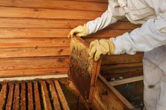 Hands of beekeeper pulls out from the hive a wooden frame with honeycomb. Collect honey. Beekeeping concept.  royalty free stock images