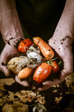 Hands with biological vegetables. Tomatoes,potatoes,onions,carrots Royalty Free Stock Image