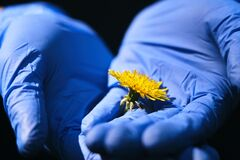 Hands in blue medical gloves with yellow dandelion closeup, nature-healthcare concept, coronavirus quarantine