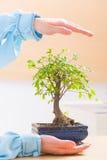 Hands with bonsai tree Stock Photo