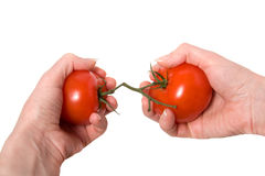 Hands breaking fasten tomato. Isolated on white background closeup Royalty Free Stock Images