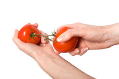 Hands breaking fasten tomato isolated. On white background Stock Photos