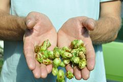Hands of the brewer and  hop Royalty Free Stock Photography