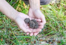 Hands with brown truffles. In the forest royalty free stock photos