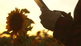 Hands of business woman are printed on screen of tablet in field of sunflower in rays of sunset. close up. farmer girl. Hands of business woman are printed on stock footage