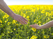 Hands on canola Royalty Free Stock Images
